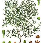 Tetraclinis_articulata_-_Köhler–s_Medizinal-Pflanzen-270