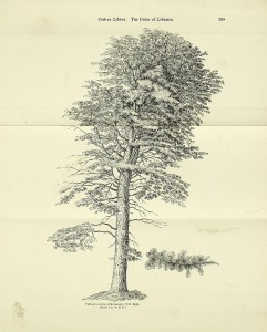 Arboretum_et_fruticetum_Britannicum_-_Cedrus_libani_(19755428381)