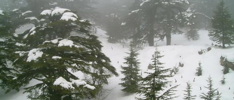 Cedars_under_the_snow
