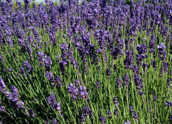 Lavandula-angustifolia-flowering