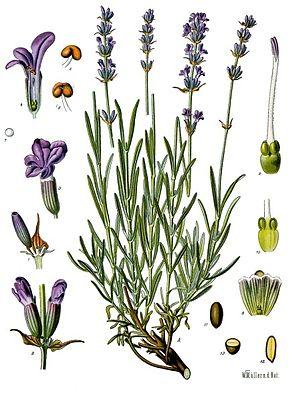 Lavandula_angustifolia_-_Köhler–s_Medizinal-Pflanzen-087-1