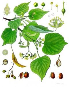 Tilia_cordata_-_Köhler–s_Medizinal-Pflanzen-139