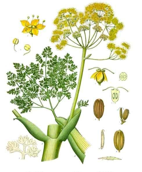 Ferula_gummosa_-_Köhler–s_Medizinal-Pflanzen-205