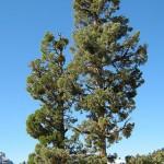 320px-Calocedrus_decurrens_Yosemite