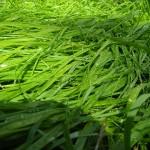 800px-Sweet_Grass